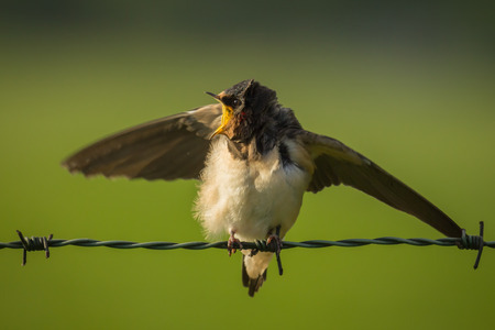 hirundo rustica: Barn Swallow (Hirundo rustica) spreads his wings while resting on green barb wire during a early morning sunrise. A large group of these barn swallows foragages and hunts insects and taking their occasional rest on their turns. Stock Photo
