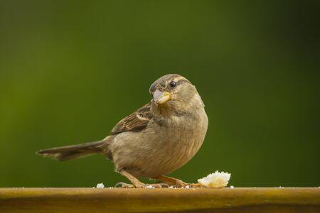 Feeding a female house sparrow bread crusts in a backyard garden