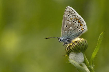 oxeye: Common Blue Polyommatus icarus on a closed oxeye daisy Chrysanthemum leucanthemum covered by a foam nest from a Meadow Frog Hopper Philaenus spumarius.