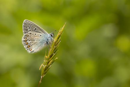 polyommatus icarus: Common Blue Polyommatus Icarus resting in grassland