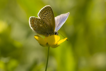polyommatus: Common blue butterfly feeding nectar out of a flower buttercup Stock Photo
