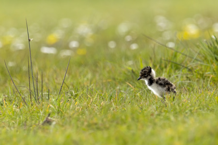 Lapwing chick exploring farmland Фото со стока - 40127748