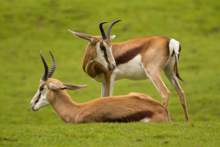 grazer: Two Antelopes resting and enjoying Their grassland