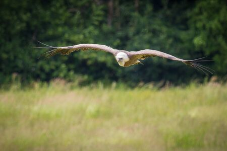 aggressor: The griffon vulture (Gyps fulvus) flying above a field, clearly to see the giant wingspan of this enormous bird of prey. Habitation: Europe, Asia, North Africa.