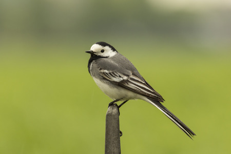 Closeup of a White Wagtail (Motacilla alba) A bird with white, gray and black feathers. The White Wagtail is the national bird of Latvia photo