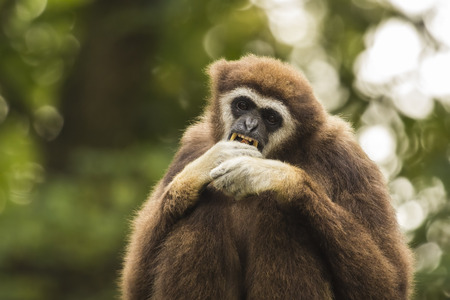 handed gibbon: White handed gibbon eating fruit and shows teeth. Stock Photo