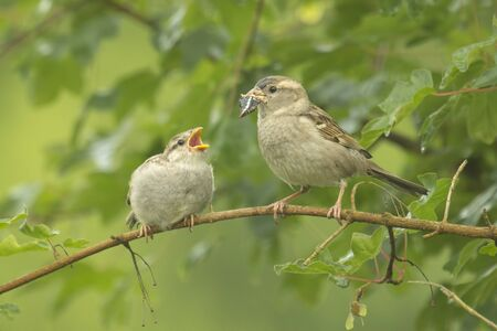 A juvenile House Sparrow being fed by his mother