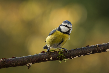 cyanistes: Blue Tit and a autumn background.