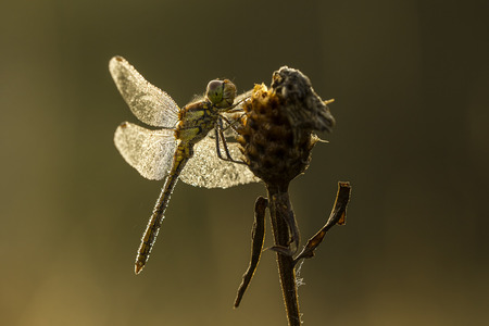 dewdrops: A dragonfly in early morning with dewdrops on his wings