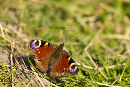 inachis: Peacock butterfly resting in the grass and enjoys the sun Stock Photo