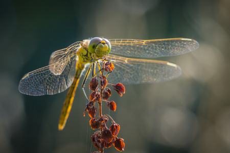 libellulidae: Front view of a Common Darter (Sympetrum striolatum) with his wings spread he is drying his wings in the early, warm sun light. Resting in a meadow at unidentified weed. Stock Photo