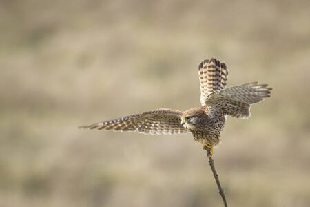 falco: Common Kestrel (falco tinnunculus) spreads his wings and gets ready for take-off from a tree top.