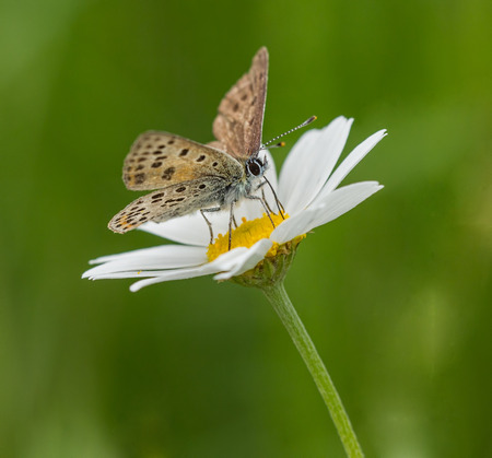 lycaena: Small sooty copper butterfly pollinating on a oxeye daisy summer. Stock Photo
