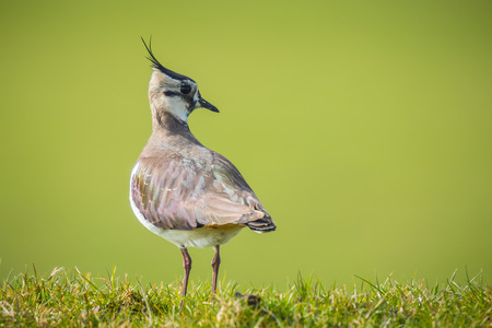 bight: Northern lapwing Vanellus vanellus searching for food in agraric grassland at daytime with bight sunlight