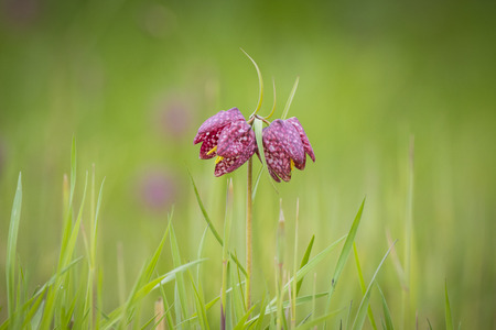trashed: Closeup a pair of purple Fritillaria meleagris in a forest on a meadow.