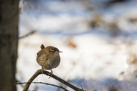 troglodytes: In a winter landscape a wren perched on a branch.