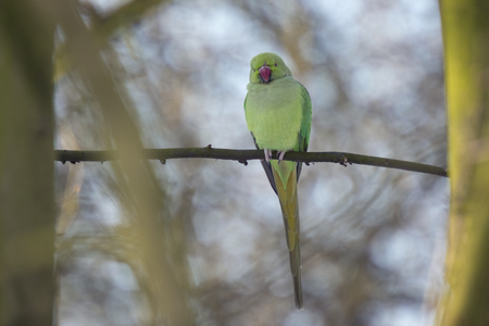 emerged: Ringnecked parakeet just emerged from sleep