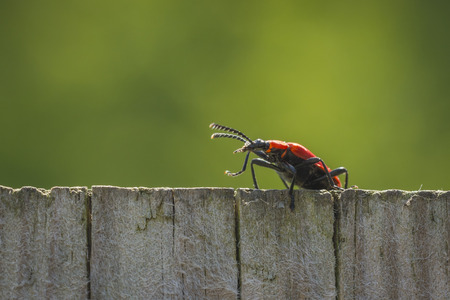 'hide out': A red lily leaf beetle bug shield neighbor walking the fence on the lookout.