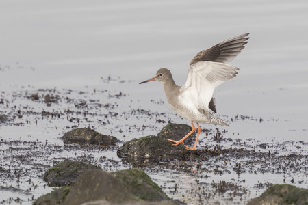 Common Redshank flapping his wings while he stand on rocks at the seashore.