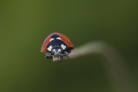 coccinellidae: Ladybird walking on a plant.