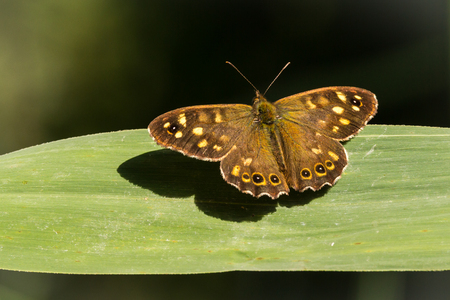 speckled wood: Top view of a speckled wood butterfly, Pararge aegeria. Resting on a leaf in a forest with open wings