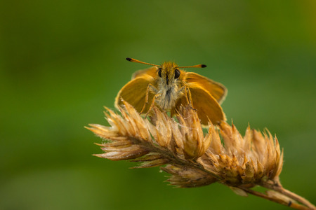skipper: Essex skipper Thymelicus lineola resting on grass in a meadow