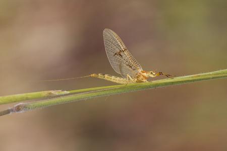 piheno: Shadfly Ephemeroptera pihen a fűben