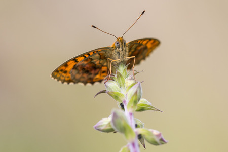 nymphalidae: Lesser marbeld fritillary resting on a plant
