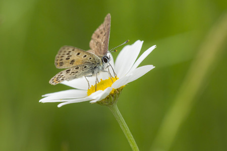 oxeye: Small copper butterfly pollinating on a oxeye daisy in summer. Stock Photo