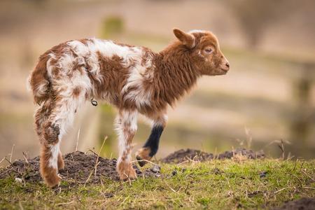 hircus: Newborn brown white lamb Capra aegagrus hircus Springtime standing in a meadow. Stock Photo