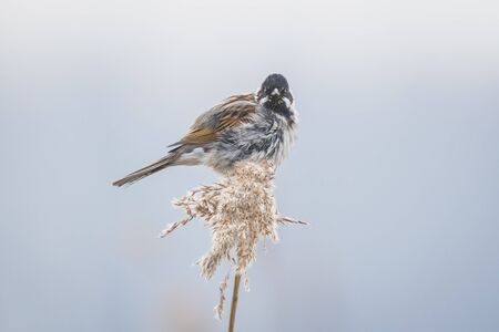 A Common Reed Bunting Emberiza Schoeniclus Sings A Song On A Reed Plume  Phragmites Australis.