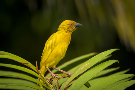 inhabits: The Eastern Golden Weaver is common from Kenya to the Eastern Cape and as far inland as Malawi. Inhabits coastal plains, river floodplains and lowland river valleys.