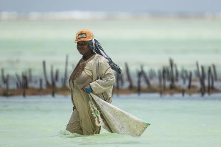 algas marinas: Las mujeres locales en Zanzíbar, Tanzania cosechar algas del océano Índico. Mujeres planta, crecer y cosechar las algas que se utilizará para jabón, cosméticos y medicin. Ahora, la industria parece estar en riesgo, con una gran cantidad de los moribundos algas. El temperat agua