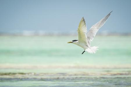 wingspan: Lesser crested tern (Thalasseus bengalensis) fishing at sea