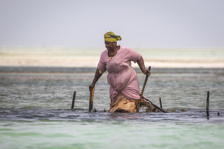 sea weed: Local women on Zanzibar, Tanzania harvesting sea weed from the Indian ocean. Women plant, grow and harvest the sea weed to be used for soap, cosmetics and medicin. Now the industry appears to be at risk, with a lot of the seaweed dying. The water temperat