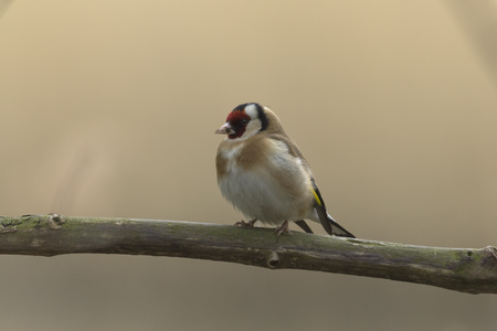 perching: A goldfinch perching in a forest