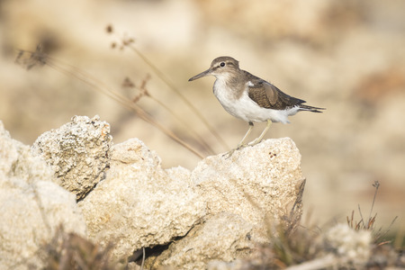 Common Sandpiper (Actitis hypoleucos) on the lookout perched on a rock