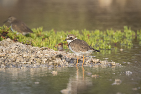 ringed: Ringed Plover (Charadrius hiaticula) foraging in between rocks on wetlands