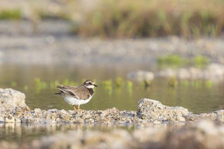 foraging: Ringed Plover (Charadrius hiaticula) foraging in between rocks on wetlands