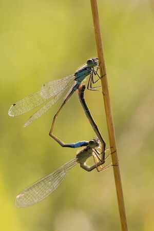 odonata: Coenagrionidae mating in a wheel position forming a heart.