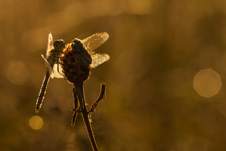 libellulidae: Dragonfly early morning