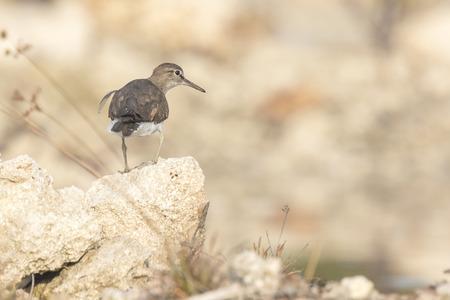 전망대에 일반적인 Sandpiper (Actitis hypoleucos)는 바위에 자리 잡고