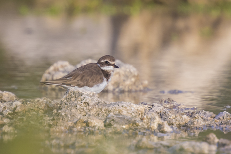 ringed: Ringed Plover (Charadrius hiaticula) foraging in between rocks on wetlands