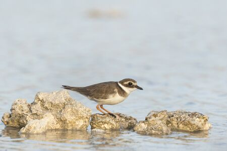 plover: Ringed Plover (Charadrius hiaticula) foraging in between rocks on wetlands