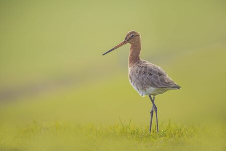 graceful: Graceful blacktailed godwit on a meadow