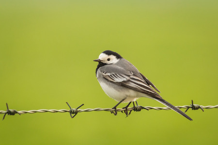 barbwire: White Wagtail (Motacilla alba) resting on barbwire Stock Photo