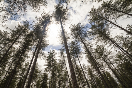 treeline: Looking to the sky the sun and the clouds in a dark and scary forest. Stock Photo