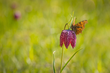 comma: A comma butterfly resting on a purple Fritillaria meleagris flower in a forest on a meadow.