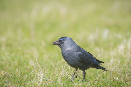 jackdaw: Western jackdaw black bird walks on green grass Stock Photo