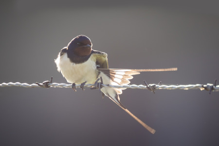 hirundo rustica: Barn Swallow (Hirundo rustica) bird spreads his wings while resting on barb wire during a early morning sunrise backlight and facing the camera.